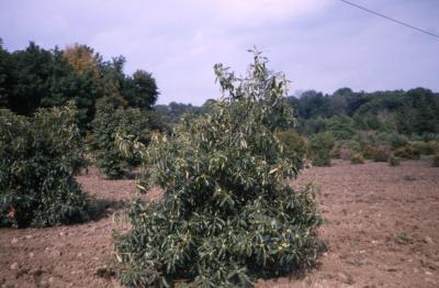 Quercus prinoides (dwarf chinkapin oak), habit, early fall