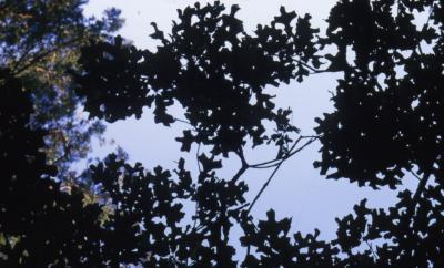 Quercus stellata (post oak), leaves
