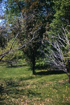 Quercus robur 'Fastigiata Purpurea' (UPRIGHT PURPLE-LEAVED ENGLISH oak) , habit, spring