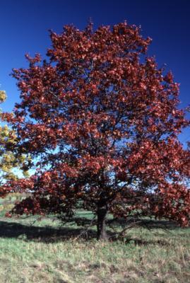Quercus shumardii (Shumard's oak), habit, fall