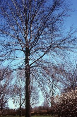 Quercus palustris (pin oak), habit, early spring