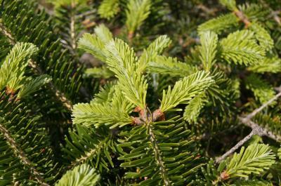 Abies ×arnoldiana 'Poulsen' (Poulsen Arnold Fir), leaf, new
