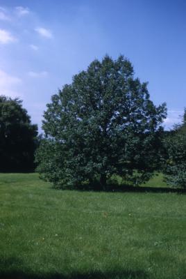 Quercus robur (English oak), habit, summer