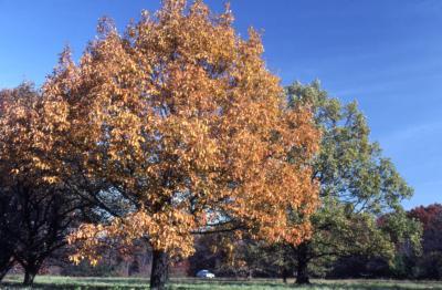 Quercus prinus (chestnut oak), habit, fall