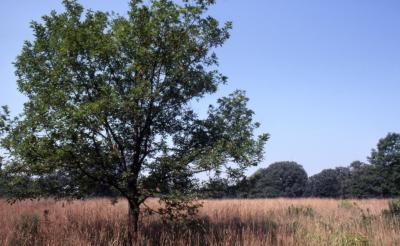 Quercus ×sargentii (Sargent's oak), habit, summer