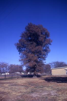 Quercus phellos (willow oak), habit, fall