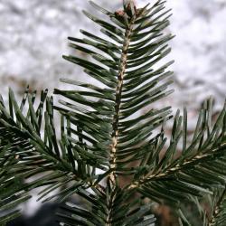 Abies alba (Silver Fir), bark, twig