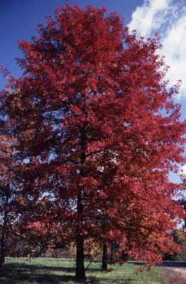 Quercus palustris (pin oak), habit, fall