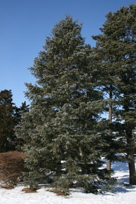 Abies concolor (White Fir), habit, winter