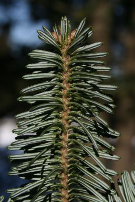 Abies fraseri (Fraser's Fir), leaf, lower surface