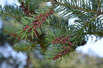 Abies balsamea (balsam fir), cone, pollen