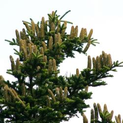 Abies alba (Silver Fir), cone, mature