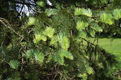 Abies concolor (White Fir), leaf, spring