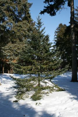 Abies fraseri (Fraser's Fir), habit, winter