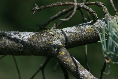 Abies concolor (White Fir), bark, branch