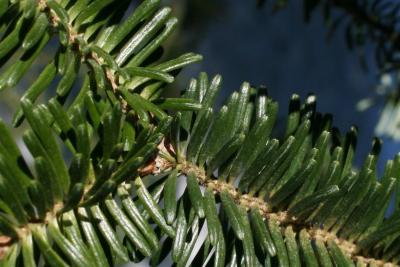 Abies fraseri (Fraser's Fir), bark, twig