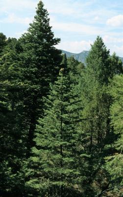 Abies concolor (White Fir), habitat