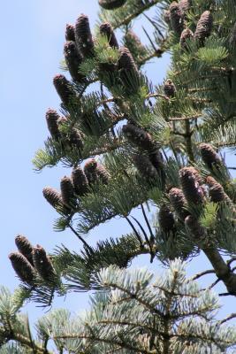 Abies concolor (White Fir), cone, mature