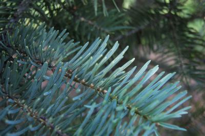 Abies concolor (White Fir), leaf, summer