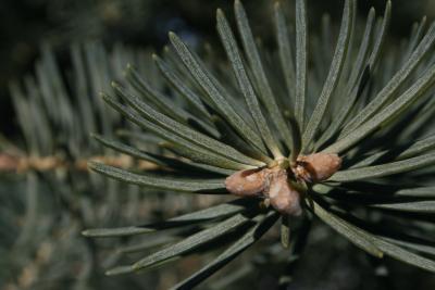 Abies concolor (White Fir), leaf, upper surface