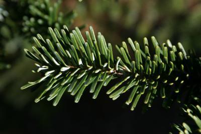 Abies fraseri (Fraser's Fir), leaf, upper surface