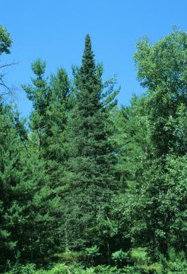 Abies balsamea (Balsam Fir), habit, summer