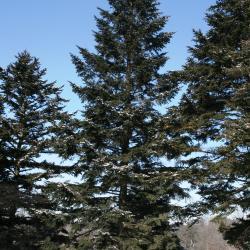 Abies alba (Silver Fir), habit, winter
