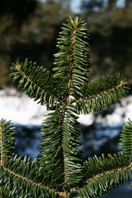 Abies fraseri (Fraser's Fir), leaf, winter