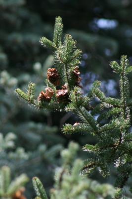 Abies balsamea (Balsam Fir), cone, mature