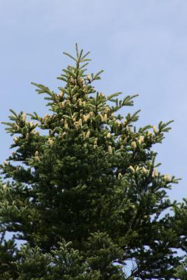 Abies holophylla (Needle Fir), cone, mature