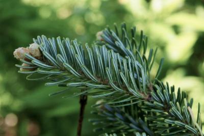 Abies fraseri 'Green Scout' (Green Scout Columnar Fraser's Fir), leaf, lower surface