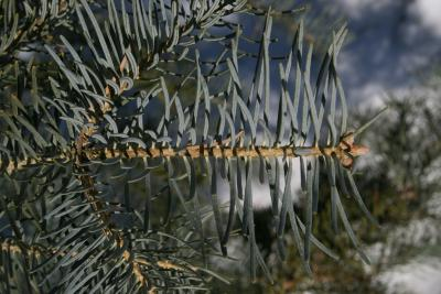 Abies concolor (White Fir), bark, twig