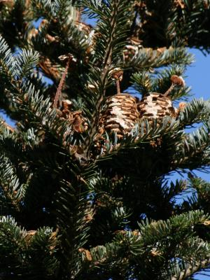 Abies fraseri (Fraser's Fir), cone, mature