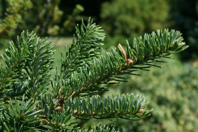 Abies fraseri 'Green Scout' (Green Scout Columnar Fraser's Fir), leaf, summer