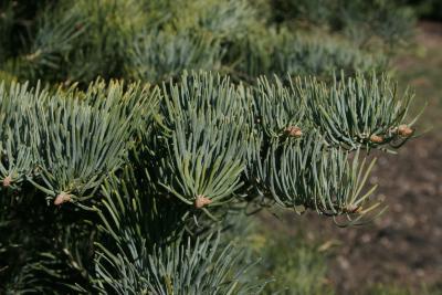 Abies concolor (White Fir), leaf, winter