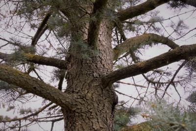 Abies concolor (White Fir), bark, trunk