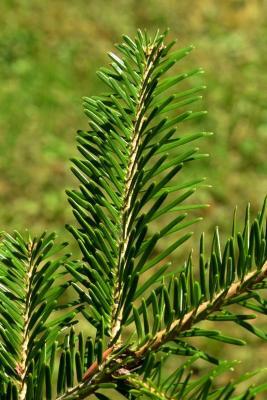 Abies alba (Silver Fir), leaf, summer