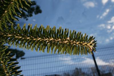 Abies homolepis (Nikko Fir), bark, twig