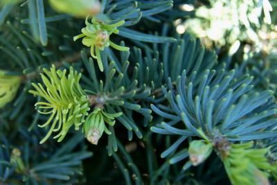 Abies concolor 'Compacta' (Compact White Fir), leaf, spring