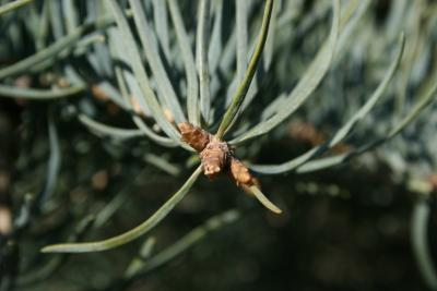 Abies concolor (White Fir), bud, terminal