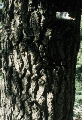 Abies concolor (White Fir), bark, mature
