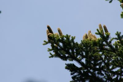 Abies nordmanniana (Nordmann's Fir), cone, mature