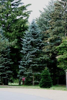 Abies lasiocarpa var. arizonica (Corkbark Fir), habit, summer
