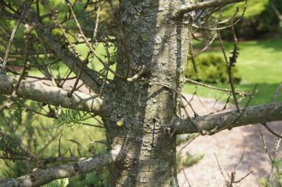 Abies koreana 'Blaue Zwo' (Blaue Zwo Korean Fir), bark, trunk