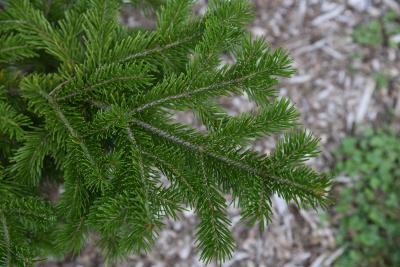 Abies sibirica (Siberian Fir), leaf, summer