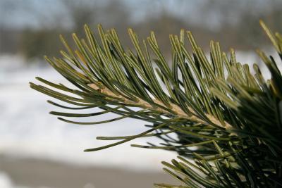 Abies sibirica (Siberian Fir), bark, twig