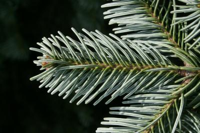 Abies lasiocarpa var. arizonica (Corkbark Fir), leaf, lower surface, bark, twig