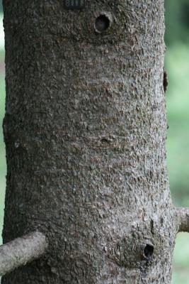 Abies lasiocarpa var. arizonica (Corkbark Fir), bark, mature