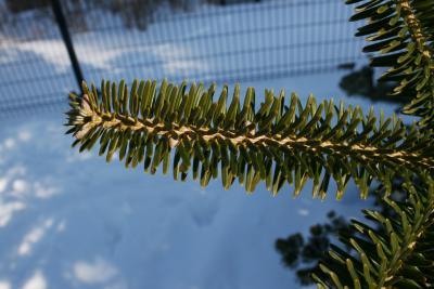 Abies homolepis (Nikko Fir), leaf, upper surface