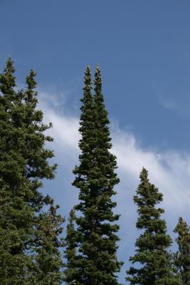 Abies lasiocarpa (Subalpine Fir), habit, summer